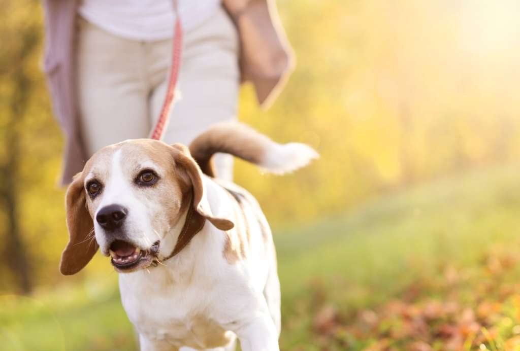 woman walking her beagle dog in countryside