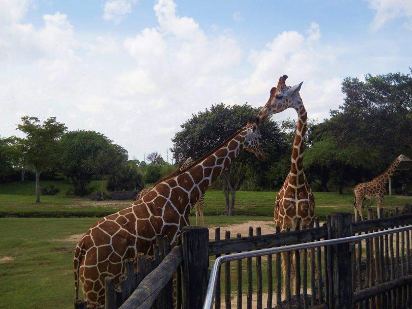 Giraffe Zoo Miami