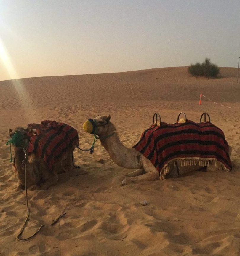 camels Dubai Safari