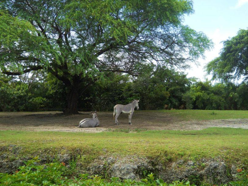 Zebras Zoo Miami