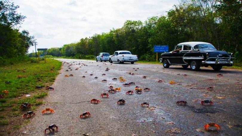 Things-to-do-in-Cuba-Crabs-Crab-migration-cuba-1-800x450