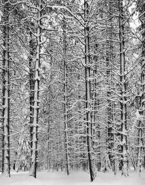 adams_Trees-and-Snow