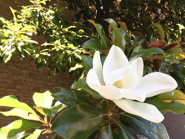 magnolia-florence