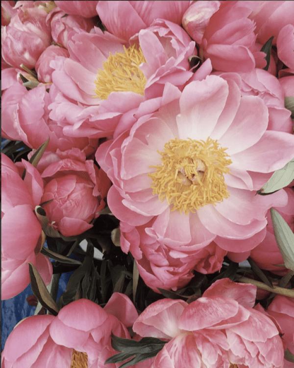 pink-peonies-leslie-shewring