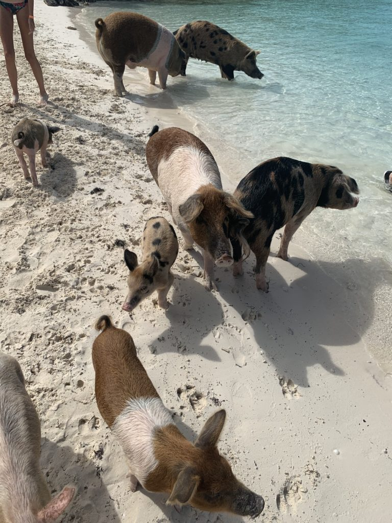 Exuma- Bahamas- swimming with the pigs- swimming pigs- vacation- family vacation- trip- beaches- Caribbean- Grand Isle Resort- Coco Plum Beach, ocean- beach swing- Exuma pigs