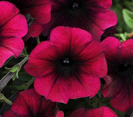 Petunia Easy Wave 174 Burgundy Velour White Flower Farm