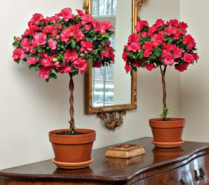 Pink Topiary Azalea White Flower Farm