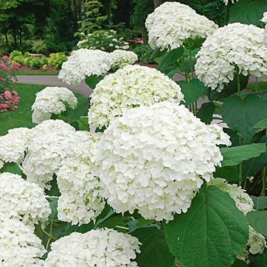 Hydrangea arborescens Incrediball®