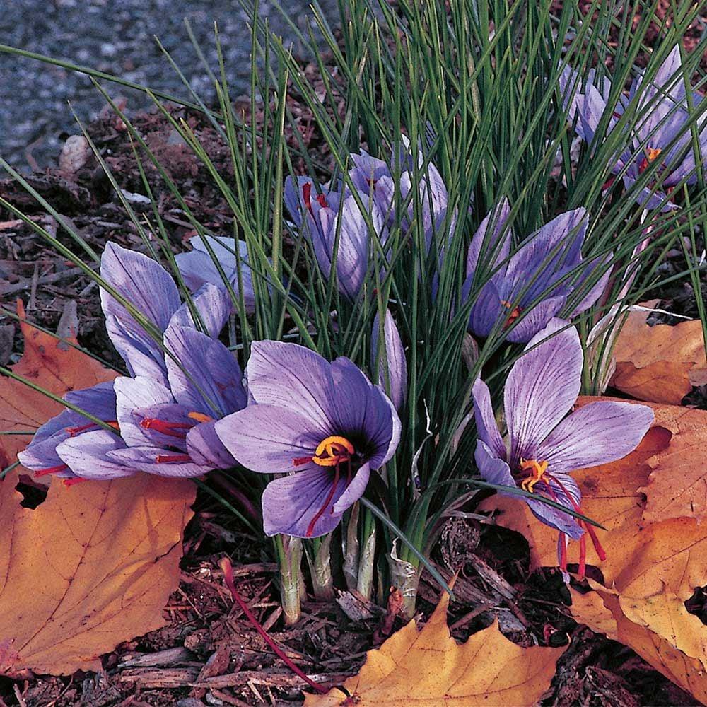 Crocus sativus: Saffron Crocus | White Flower Farm