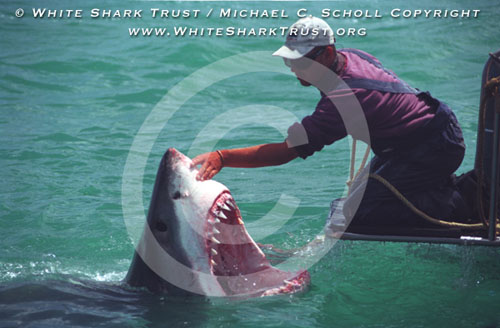 Do Great White Sharks Eat Kayakers?   Crackerboy