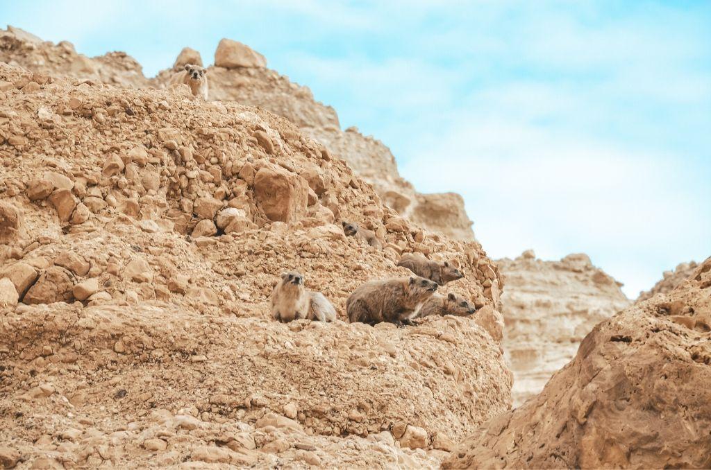 Zwierzęta w Parku Ein Gedi