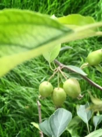 crab apples 225x300 - New Beginnings in the Garden