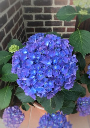 blue hydrangea head 212x300 - Flowers - Vintage and Thrifty Styling for the Home
