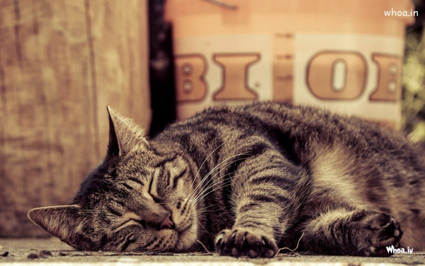 Sleeping Cat Hd Wallpaper Free Download For Desktop Background