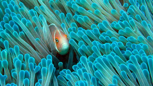 Biology   Woods Hole Oceanographic Institution A clownfish finds refuge in an anemone in the Phoenix Islands Protected  Area  PIPA   one of the world s largest marine protected areas