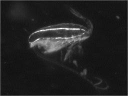 Image of Calanus finmarchicus taken in-situ by the video plankton recorder (VPR). Image from Dr. Baumgartner's project website on Copepod Diel Vertical Migration.