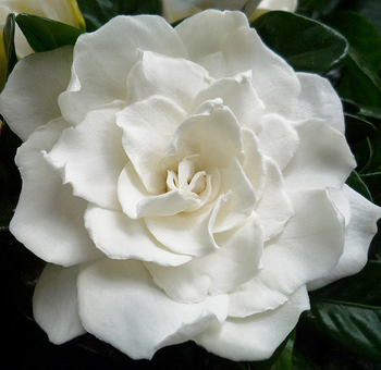 wholesale Gardenia Flowers