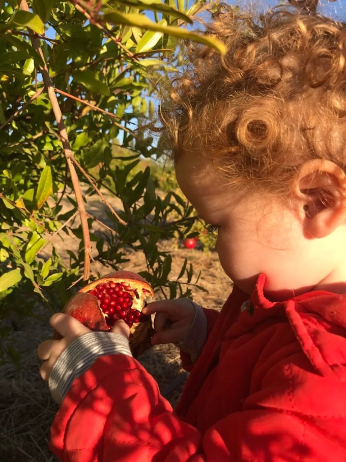 Foodie Travel with Kids: Picking Pomegranates