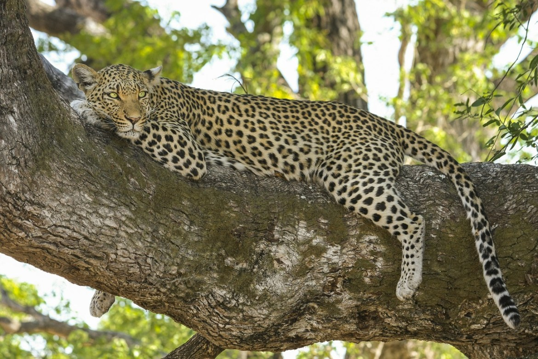 豹の遺伝子配列の解読からわかったネコ科動物の食性