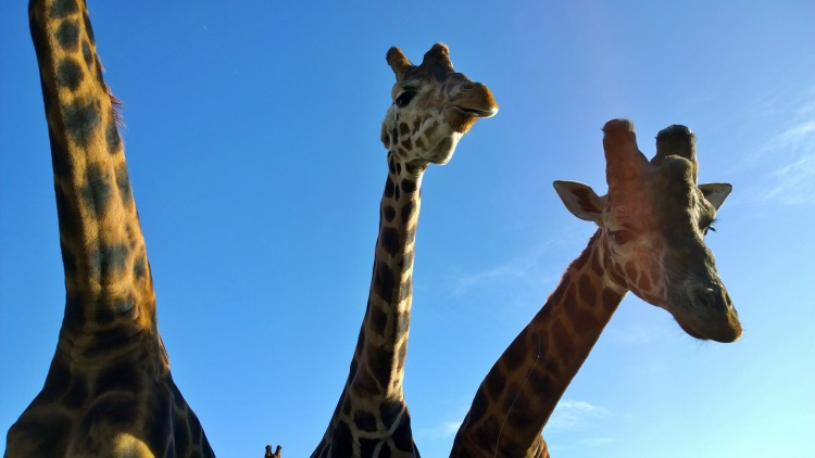 giraffes at folly farm