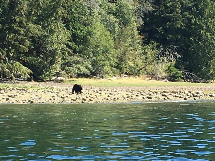 bear watching tofino