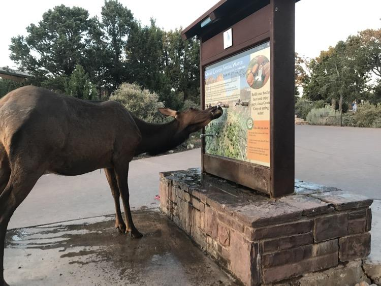 elk drinking at Grand Canyon
