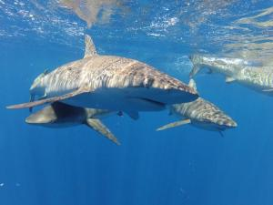 shark diving hawaii