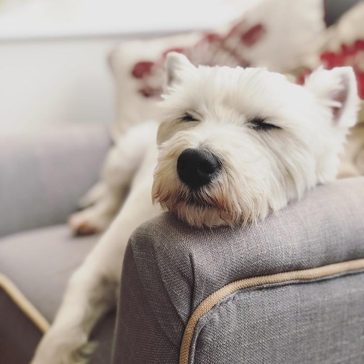 teddy westie sleeping