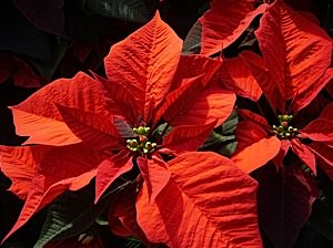 A Poinsettia flower