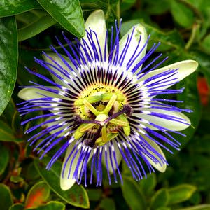 Easter Flowers    Easter Customs and Traditions    whyeaster com Passion Flowers   Passion flowers have been given lots of different  meanings for Easter over the years  These help Christians to remember Jesus  dying on the