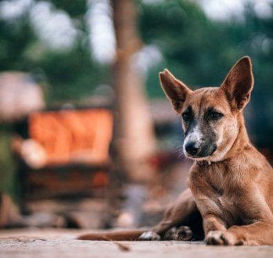 Baladi dog