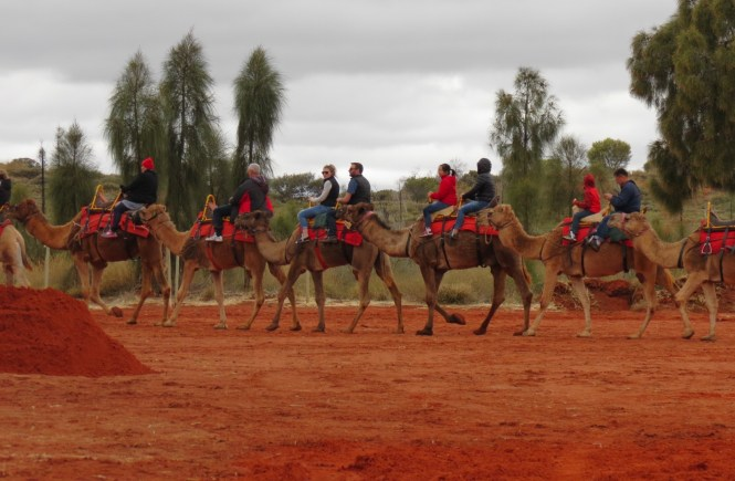 Camels in Outback