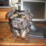 Cute puppy YorkiePoo photo