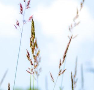 Vermont Blue Grass