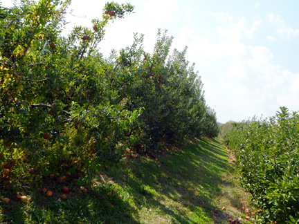 Orchard Rows