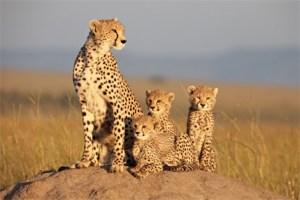 Sita - African Cats