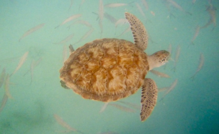 Pardon the crappy disposable underwater camera photo but this is one of the fellows we swam with.