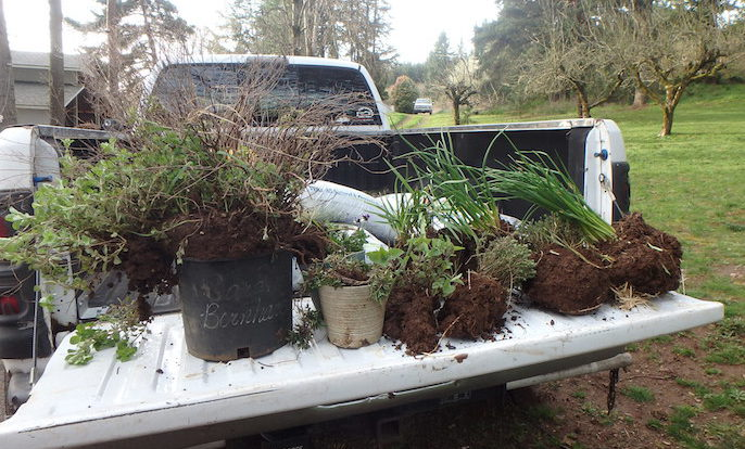 Herbs on the tailgate for transplanting