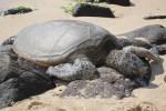 [夏威夷好玩] 來夏威夷怎麼可以不去看海龜們? – Laniakea Beach