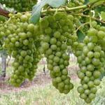 18-10-2014 : Loire – witte monocépage wijnen