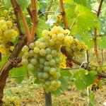 20-11-2004 : Chardonnay