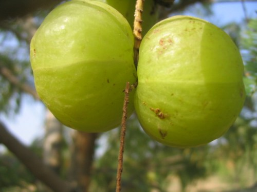 Amla fruits on the tree