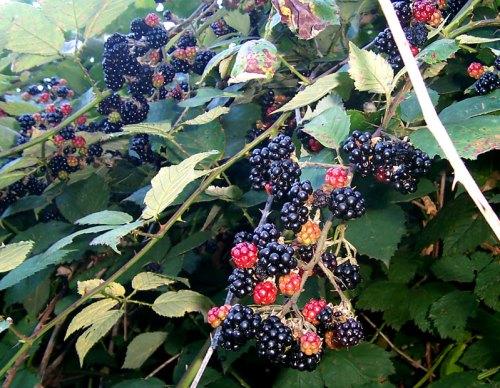 Blackberry shrub