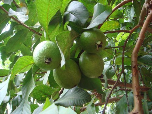Guava on a tree