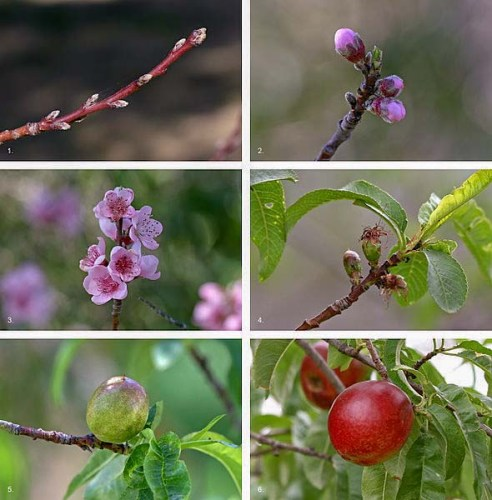 Peach fruit development