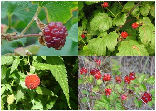 Raspberry fruits species