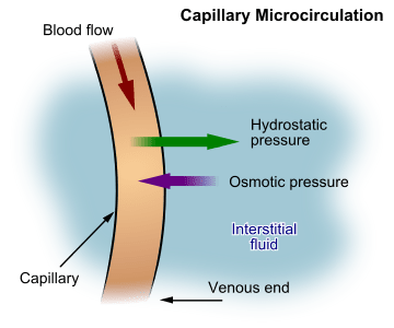 illustration of capillary microcirculation