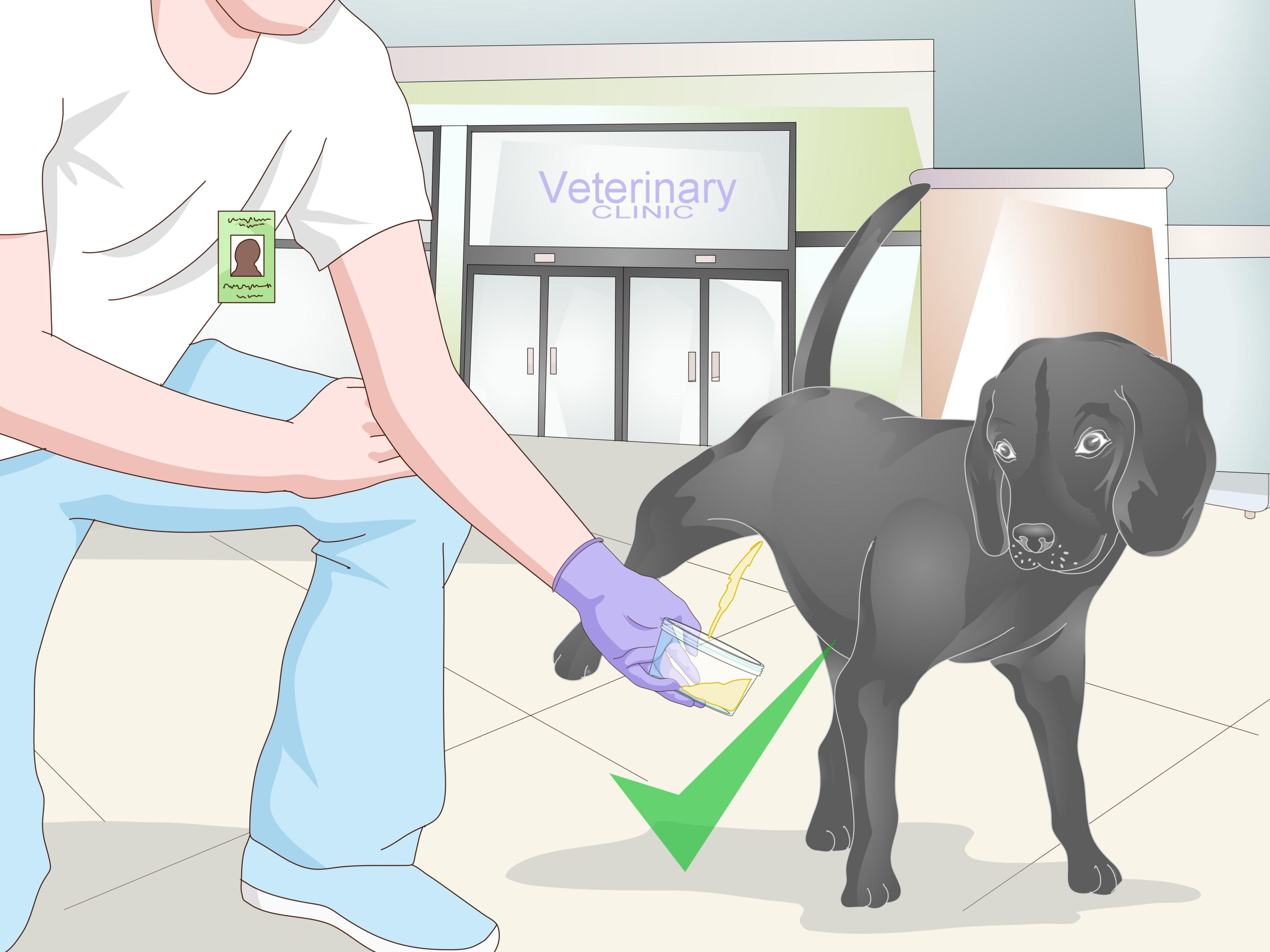 How To Get A Urine Sample From A Male Dog 12 Steps