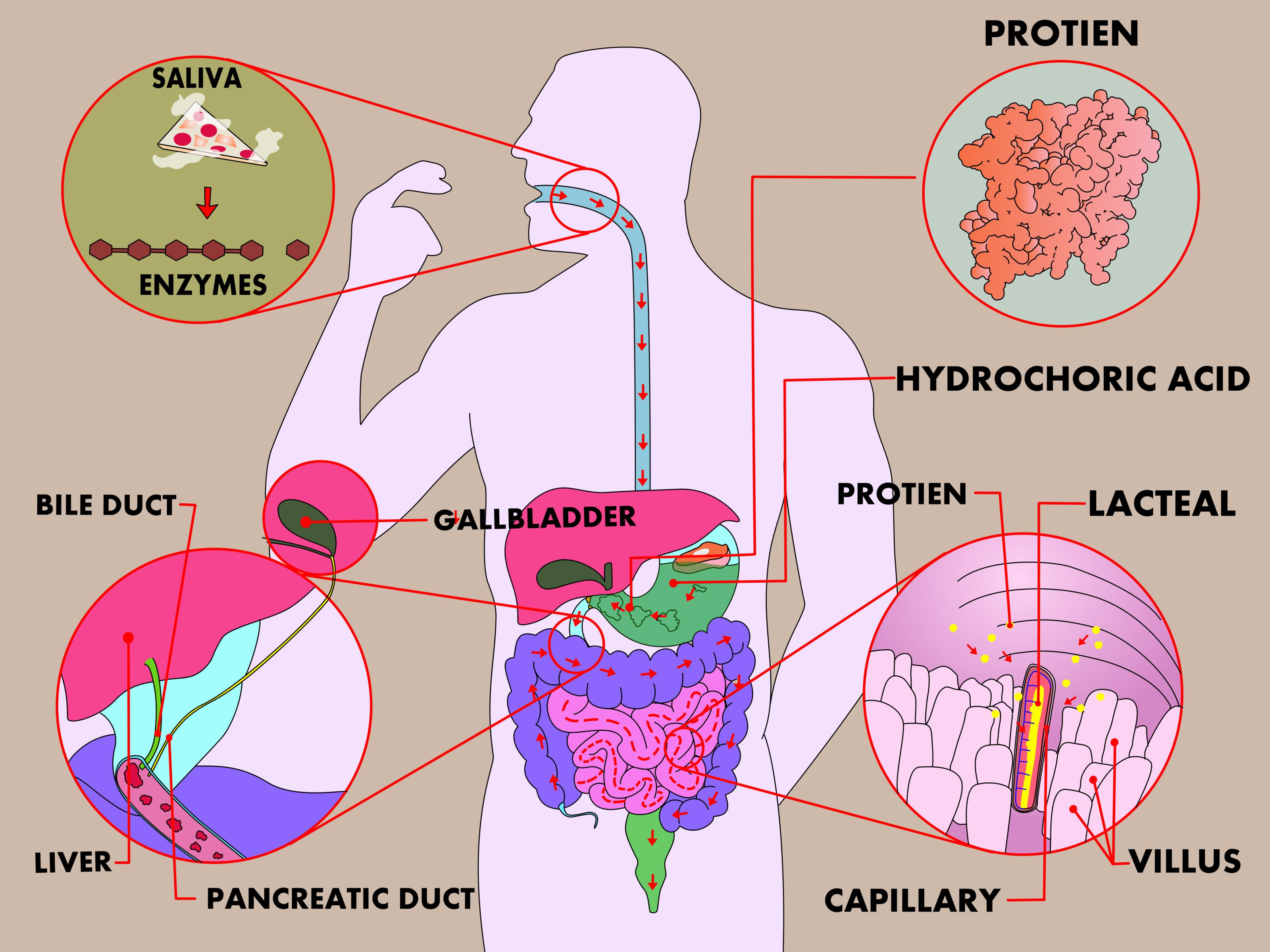 3 Ways To Study The Physiology Of Digestion In The Human Body