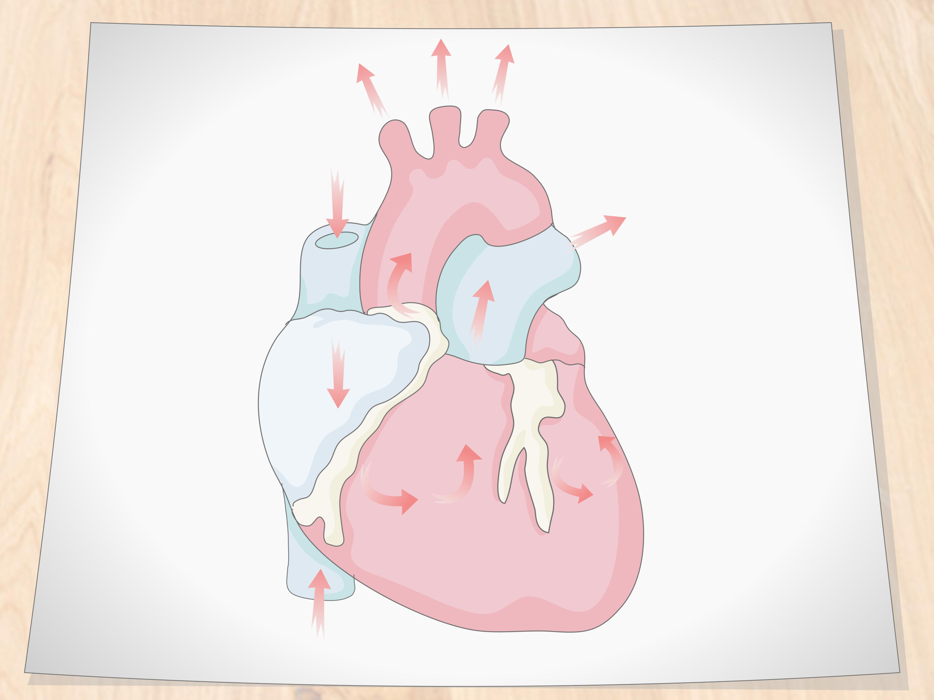 How To Draw A Human Heart 11 Steps With Pictures Wikihow